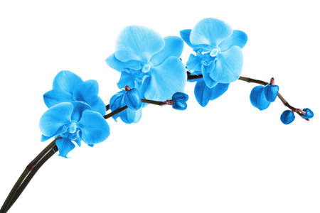 Beautiful blue orchid, isolated on white Standard-Bild