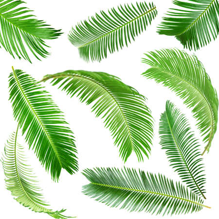 foliage frond: Green palm leaves isolated on white Stock Photo