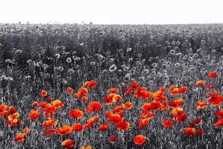 Red poppy flowers for Remembrance Day  Sunday Stock Photo
