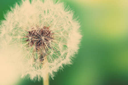 Beautiful dandelion with seeds, close-up photo