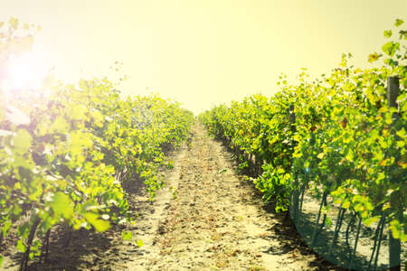 farm field: Vineyard plantation