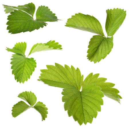 botanical farms: Strawberry leaves, isolated on white