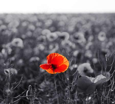 記憶日の赤いケシの花日曜日