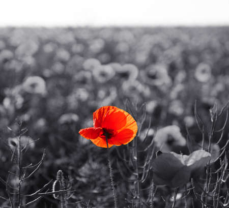 remembrance day: Red poppy flowers for Remembrance Day  Sunday Stock Photo