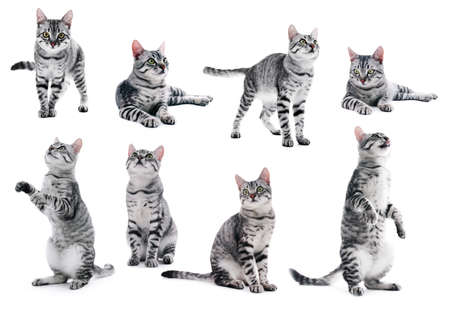 Collage of beautiful grey cat isolated on white 스톡 콘텐츠
