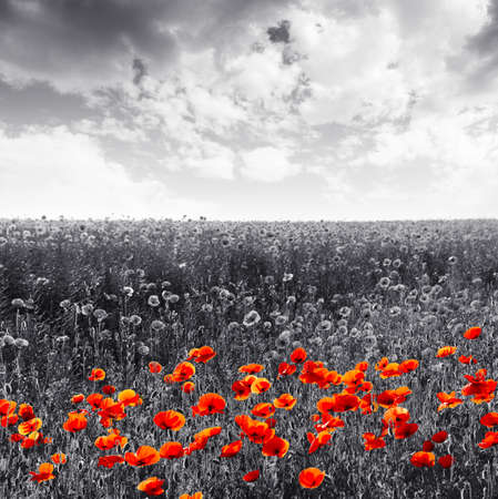 sepia.: Red poppy flowers for Remembrance Day  Sunday Stock Photo