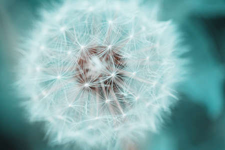 dandelion seed: Beautiful dandelion with seeds, close-up