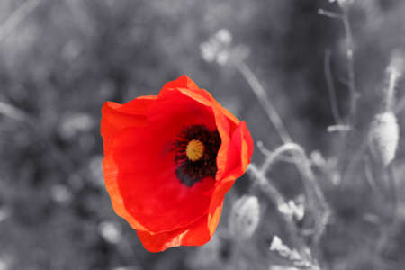 Red poppy flower for Remembrance Day  Sunday Stock Photo
