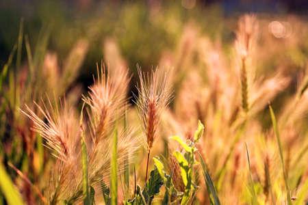 spikelets: Field spikelets, outdoors