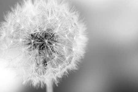 美しいタンポポの種子をクローズ アップ
