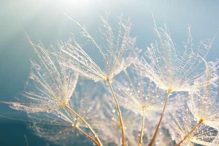 blue dandelion: Beautiful dandelion with seeds, macro view