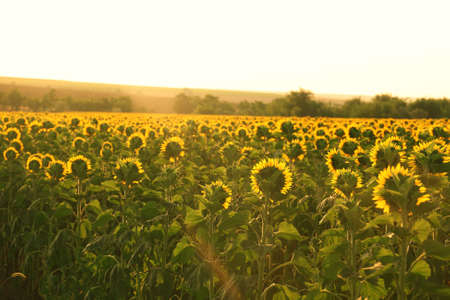 sunflowers field: Beautiful sunflowers field