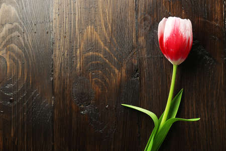 nature beauty: Tulip flower on wooden background