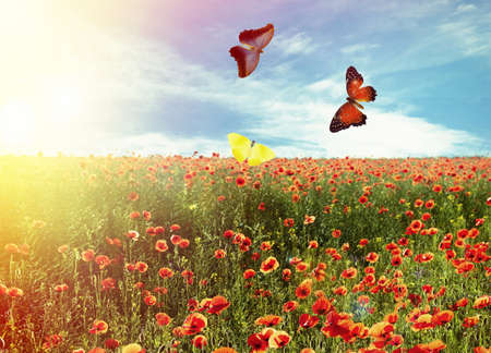 Beaux papillons dans le champ de fleurs de pavot
