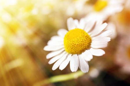 p�querette: Belles marguerites avec la lumi�re du soleil Banque d'images