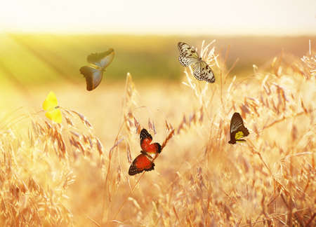 butterflies flying: Beautiful butterflies flying on meadow Stock Photo