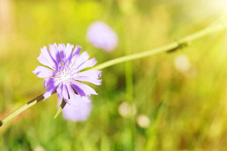 chicory flower: Chicory flower in the field with sunlight