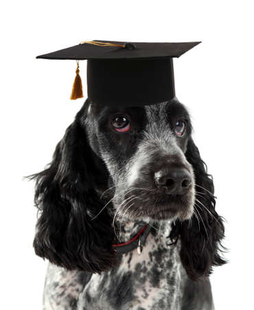 russian hat: Russian spaniel with grad hat isolated on white Stock Photo