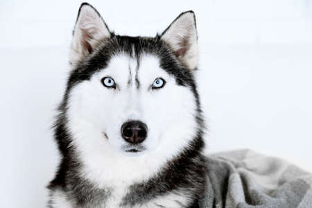 black and white wolf: Beautiful cute husky, close up