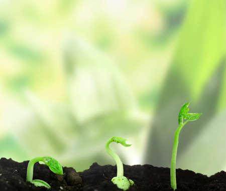 germinaci�n: Frijol de semillas de germinaci�n diferentes etapas en la naturaleza de fondo Foto de archivo