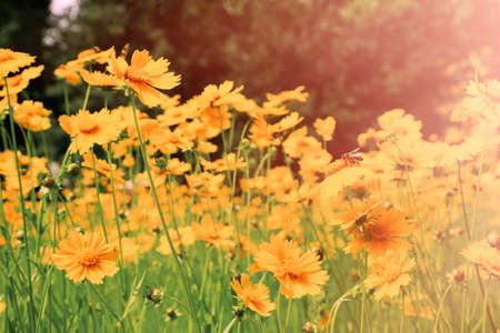 sunlight: Cosmos flowers with sunlight