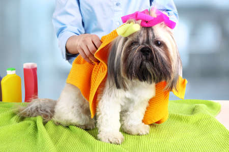 master bath: Hairdresser towel Shih Tzu dog in barbershop, isolated on white Stock Photo