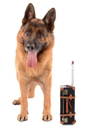 white shepherd dog: Funny dog tourist with suitcase, isolated on white