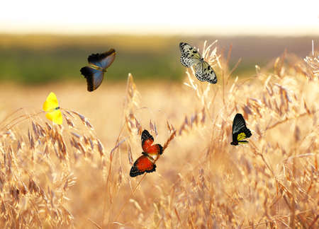 sunshine background: Beautiful butterflies flying on meadow Stock Photo