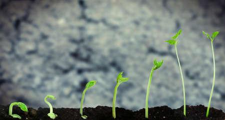germinación: Frijol de semillas de germinación diferentes etapas en el fondo del suelo