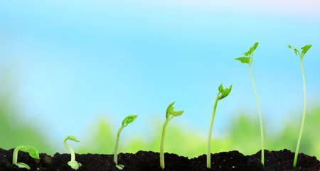 unfold: Bean seed germination different stages on nature background