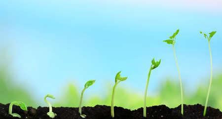 germinación: Frijol de semillas de germinación diferentes etapas en la naturaleza de fondo Foto de archivo