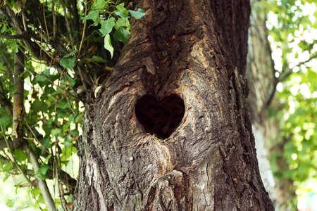 hollow tree: Tree hollow in heart shape close-up Stock Photo