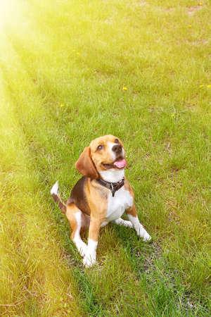 beagle: Funny cute beagle dog in park on green grass