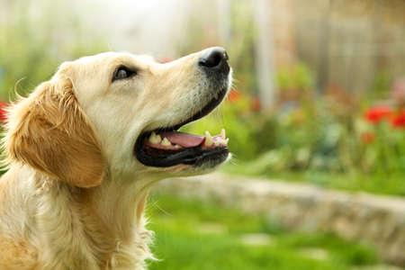 perros jugando: Golden Retriever adorable en la naturaleza de fondo Foto de archivo