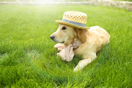 cute dogs: Adorable Golden Retriever in hat and scarf  on green grass, outdoors Stock Photo