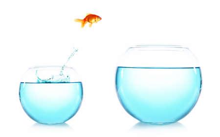 fresh water aquarium fish: Goldfish jumping from glass aquarium, isolated on white