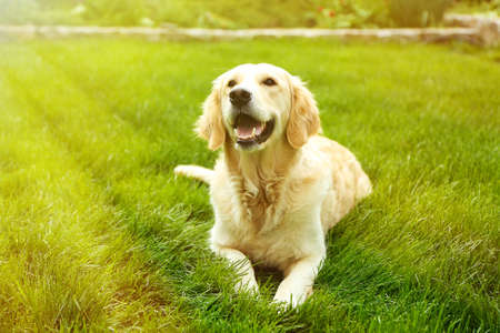 愛らしいゴールデンレトリバー、屋外の緑の草の上 写真素材