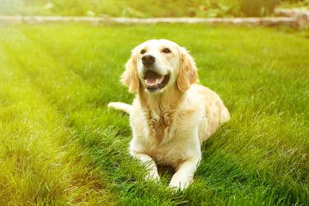 Adorable Golden Retriever auf grünem Gras, im Freien Standard-Bild - 47169499
