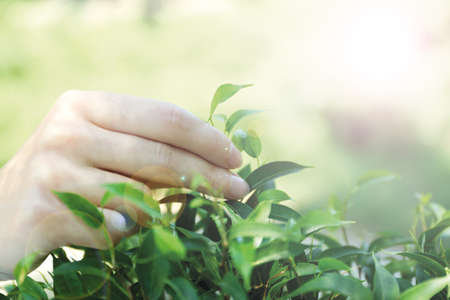 plucking: Hand plucking tea leaf, outdoors