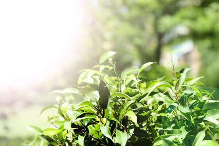 tea plantations: Green tea bush with fresh leaves, outdoors