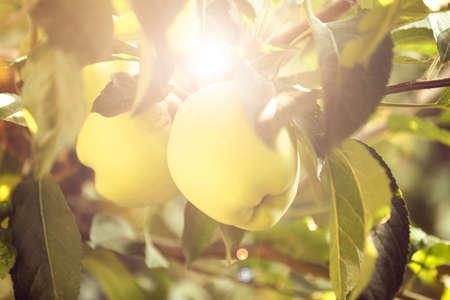 arbol de manzanas: Manzana verde en rama, primer plano Foto de archivo