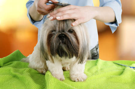 barbershop: Cute Shih Tzu and hairdresser in barbershop