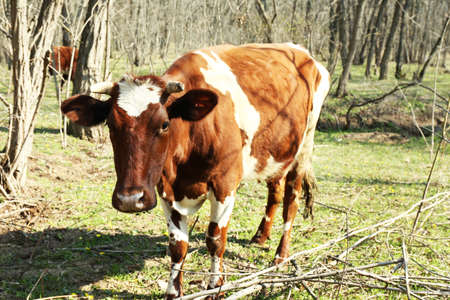 closeup cow face: Caw grazing in county Stock Photo