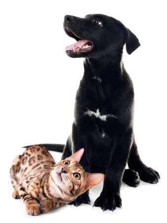 black labrador: Cute dog and cat isolated on white Stock Photo