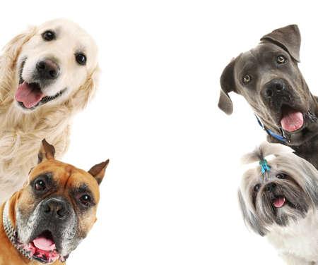 perro boxer: Los perros aislados en blanco