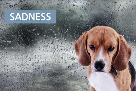 listless: Sad dog on rain background