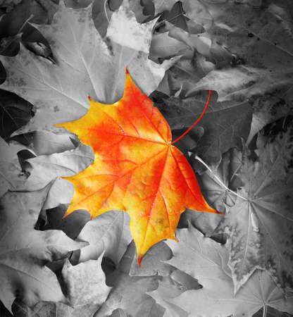 amongst: Orange maple leaf amongst black and white autumn leaves Stock Photo