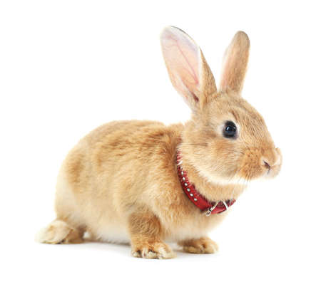 intrigued: Red rabbit isolated on white Stock Photo