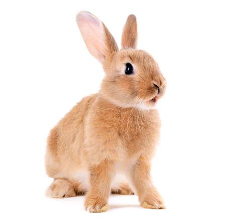 白で隔離される小さなウサギ 写真素材