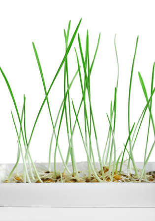 sprouted: Sprouted grains in flowerpot isolated on white